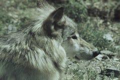 Unga Wolf Cameo Royaltyfri Fotografi