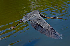 Ungainly GBH Inflight. Great Blue Heron inflight after taking off,looks ungainly.Shot in a pond in a Florida park royalty free stock photography