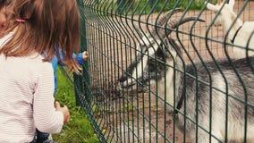 Ungar som matar geten i aviarium bak det gröna staketet zoo field treen angus stock video
