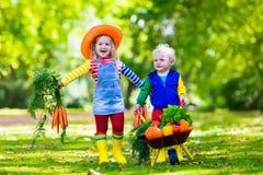 Ungar som väljer grönsaker på organisk lantgård Royaltyfri Bild