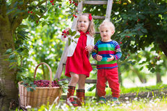 Ungar som väljer körsbäret på en fruktodling Arkivfoto