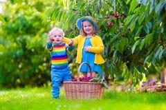 Ungar som väljer körsbärsröd frukt på en lantgård Royaltyfria Foton