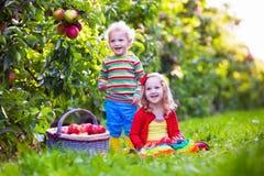 Ungar som väljer nya äpplen från träd i en fruktfruktträdgård Arkivbilder