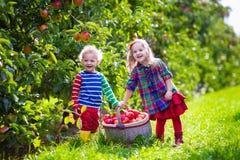 Ungar som väljer nya äpplen från träd i en fruktfruktträdgård Royaltyfri Bild