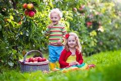 Ungar som väljer nya äpplen från träd i en fruktfruktträdgård Arkivfoto