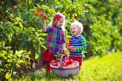 Ungar som väljer nya äpplen från träd i en fruktfruktträdgård Royaltyfri Foto