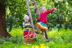 Ungar som väljer äpplen i fruktträdgård Arkivfoton