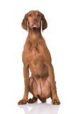 Ungarisch Vizsla-Hund stockfoto