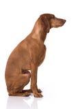Ungarisch Vizsla-Hund stockfotografie