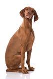Ungarisch Vizsla-Hund stockfotos