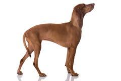 Ungarisch Vizsla-Hund lizenzfreie stockbilder