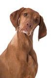 Ungarisch Vizsla-Hund stockbilder