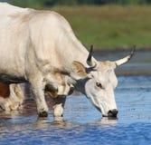 Ungarische Grauviehkühe auf der Wasserentnahmestelle Lizenzfreie Stockbilder