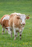 Ungarische Kühe Stockfotos