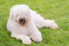 Ungarische komondor Hunde im Park lizenzfreie stockbilder
