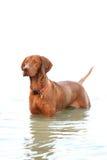 Ungarischer Apportierhund Stockfotografie
