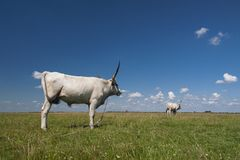 Ungarischer Grauvieh-Ungar: ` Ungarisch Szurke-`, alias ungarisches Steppenvieh, ist eine alte Zucht von lizenzfreie stockbilder
