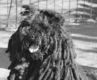 Ungarischer Hund lizenzfreies stockfoto