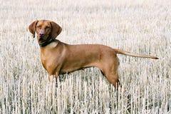 Ungarischer Hund auf dem Herbstgebiet lizenzfreies stockfoto