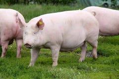 Ungarischer Schweinzuchtname ist große weiße Aufstellung auf Wiese Lizenzfreies Stockfoto