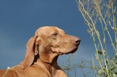 Ungarischer Vizsla Hund Lizenzfreies Stockbild