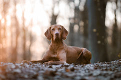 Ungarischer Zeigerjagdhund lizenzfreie stockbilder