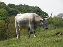 Ungarisches graues Vieh Lizenzfreie Stockfotos
