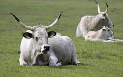 Ungarisches graues Vieh Stockbilder