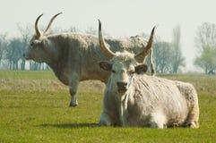 Ungarisches graues Vieh Stockfoto