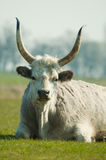 Ungarisches graues Vieh Stockfotografie