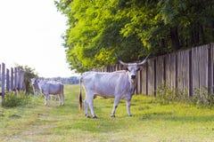 Ungarisches Grauvieh auf dem Gebiet Stockfotos