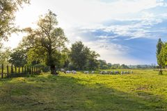 Ungarisches Grauvieh auf dem Gebiet Stockfotografie