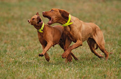 Ungarisches Vizsla Stockfotos