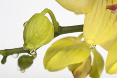 Ungeöffnete Knospe der Orchidee mit Wassertropfen Lizenzfreies Stockbild