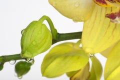 Ungeöffnete Knospe der Orchidee mit Wassertropfen Stockfotografie