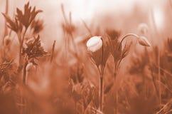 Ungeöffnete Schneeglöckchenblume der Nahaufnahme Die erste Fr?hlingsblume Korallenroter Ton lizenzfreies stockbild
