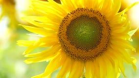 Ungeöffnete Sonnenblume, die zu The Sun erreicht stock video