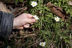 Unge som samlar den wood anemonen Royaltyfria Foton