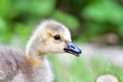 Ungefähr eine Monat alten Goslings Nahaufnahme lizenzfreie stockbilder