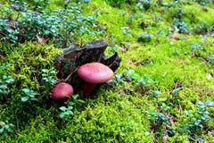 Ungenießbare purpurrote Pilze in einem Wald Stockfotos