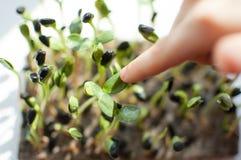 Ungens lillfinger trycker på nya och rå groddar av solrosen Sund mat, microgreens som hemma brukar Barn fotografering för bildbyråer