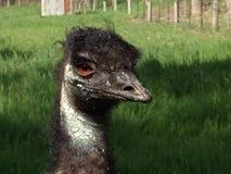 Ungepflegtes Emu, das Kamera betrachtet Lizenzfreies Stockfoto
