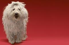 Ungersk fårhund arkivfoto