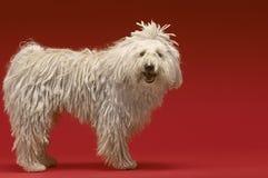 Ungersk herde Dog royaltyfri fotografi