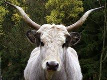 ungersk longhorn Arkivfoto
