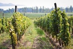 Ungersk vingård arkivfoton