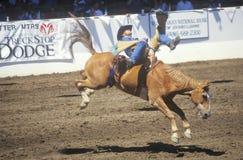 Ungesatteltes Reiten, Santa Barbara Old Spanish Days, Fiesta-Rodeo, Pferdeshow auf Lager, Earl Waren Showgrounds, CA Lizenzfreies Stockfoto