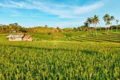 Ungeschälter Reis Lizenzfreies Stockbild
