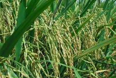 Ungeschälter Reis Stockfotos