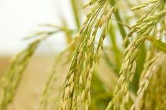 Ungeschälter Reis lizenzfreie stockfotos